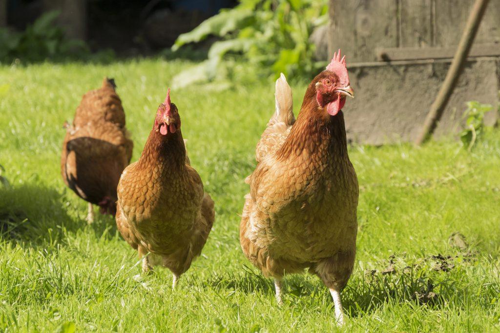 Glückliche Hühner im Gras